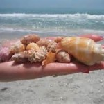 Shelling on Sanibel Island2